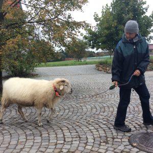 Føring af får med brug af kropssprog og belønning med strigle